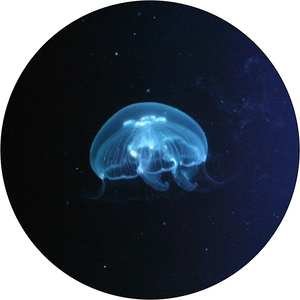 Small Moon Jellyfish