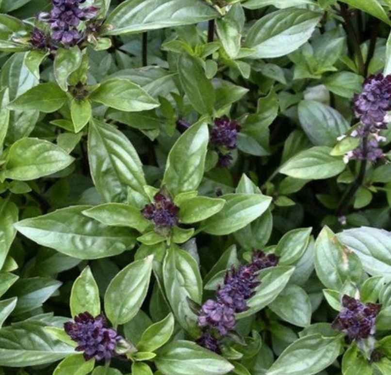 Herbs - Organic Cinnamon Basil, Freshly Harvested from Our Schools Farm