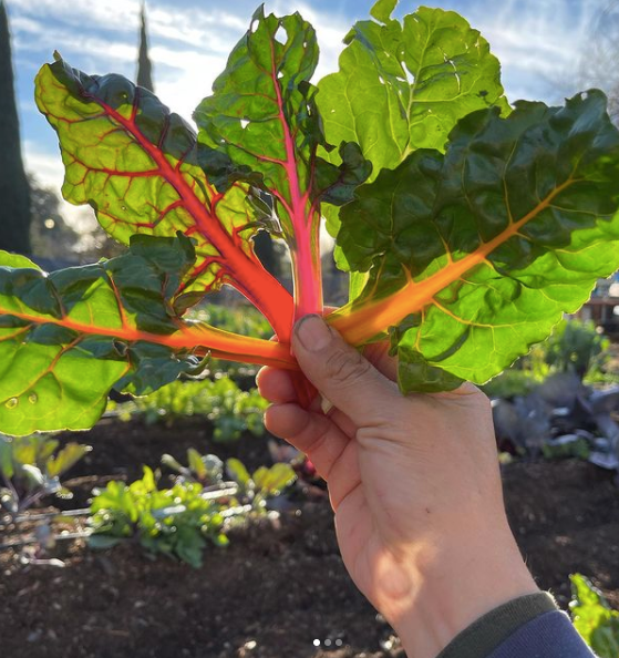Vegetable - Organic Rainbow Chard, Harvested from the Anneliese Schools Organic Farm