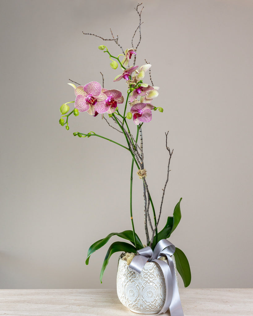 Potted double stem orchid, white ceramic container