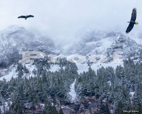 Two bald eagles over Chilkoot By William McRoberts