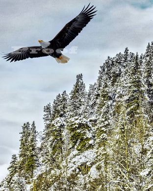 Eagle over snowy ridge