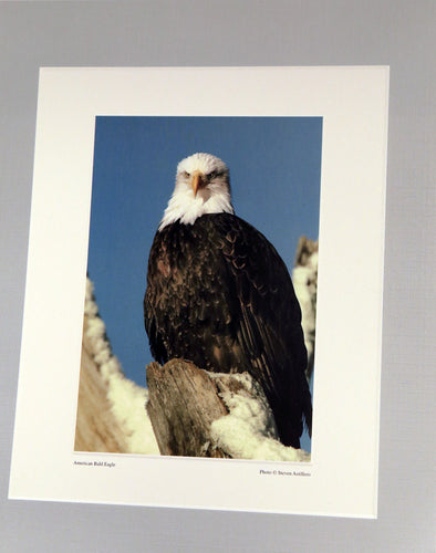 American Bald Eagle Prints
