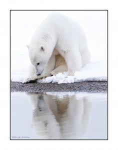 Polar Bear Reflection on metal by Bill McRoberts