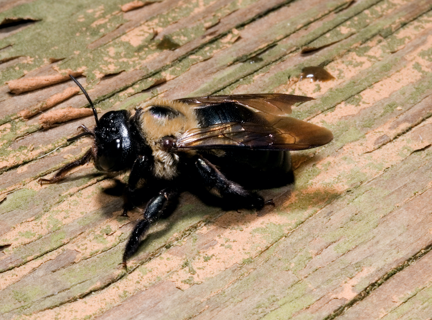 The Buzz on Carpenter Bees & Swing Sets