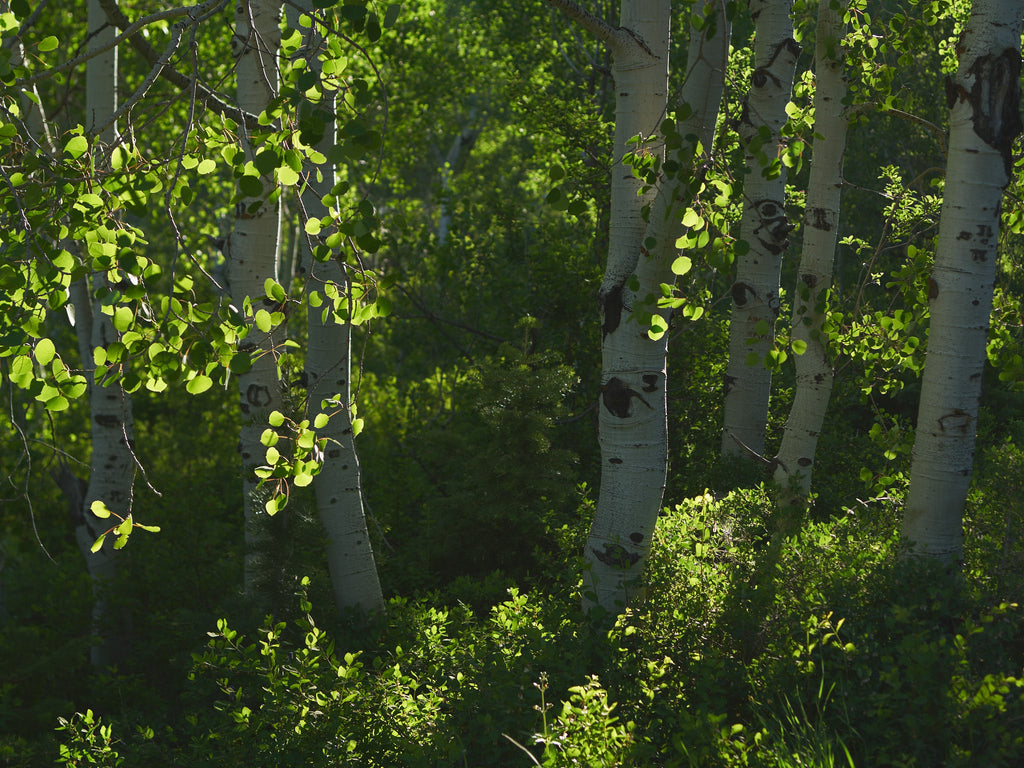 aspens-forest-wasatch-utah
