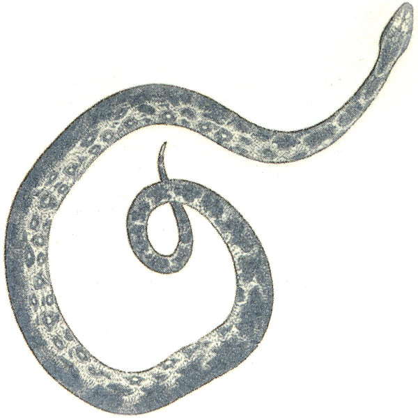 RATTLESNAKE Temporary Tattoo 2x2