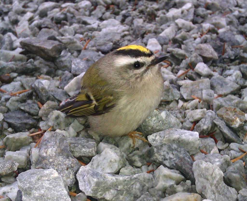 Golden Crowned Kinglet Messenger