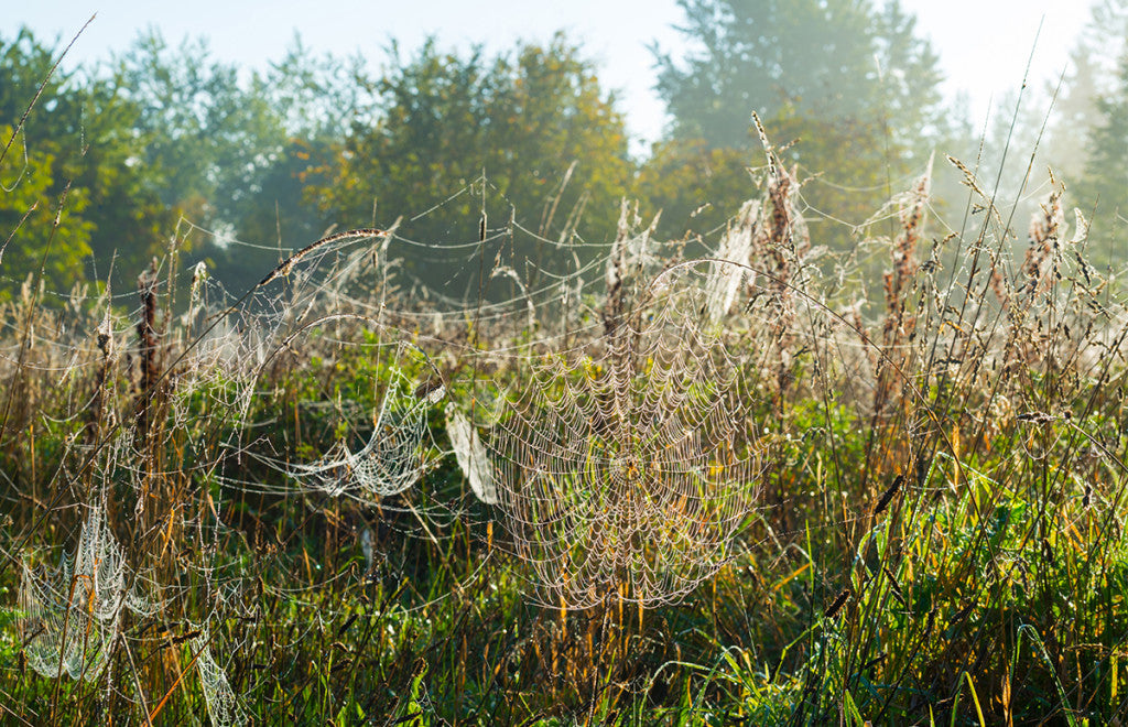 Spider Web Silk: Goats and Bandages