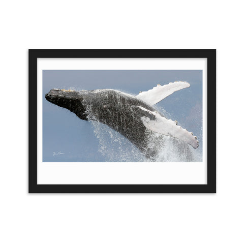 Breaching Humpback Whale by Photographer Tim Rock Framed, signature imprinted matte paper poster