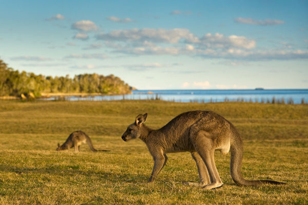 Photo of Kangaroos at Maloneys Beach BAT1114 - Gusha