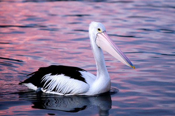 Photo of Pelican BAT1133 - Gusha