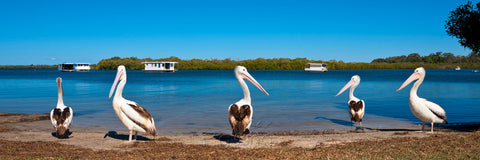 Photo of Pelicans CA2630 - Gusha