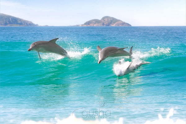 Photo of Bottlenose Dolphins HN0085 - Gusha