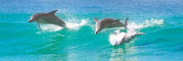 Photo of Bottlenose Dolphins HN1135 - Gusha