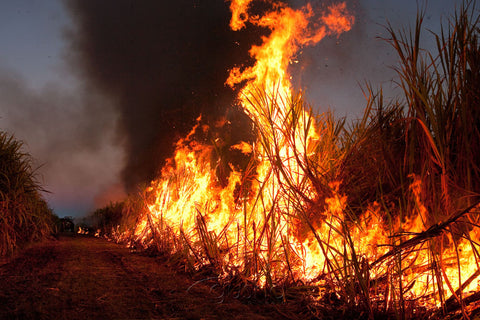 Photo of Sugarcane Burn MC1784 - Gusha