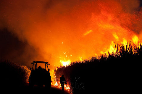 Photo of Sugarcane Burn MC1786 - Gusha