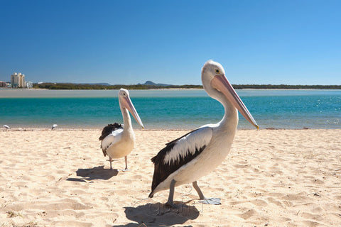Photo of Pelicans MR1909 - Gusha