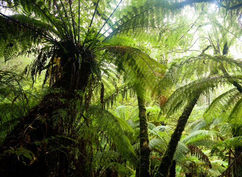 Photo of Tree Ferns OT1158 - Gusha