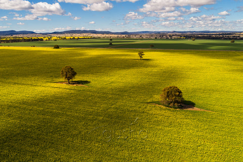 Dappled light warms fields of golden canola near Parkes in New South Wales, Australia.