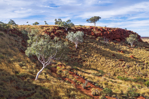 A photo of ghost gum trees growing in the arid Pilbara region of Western Australia.