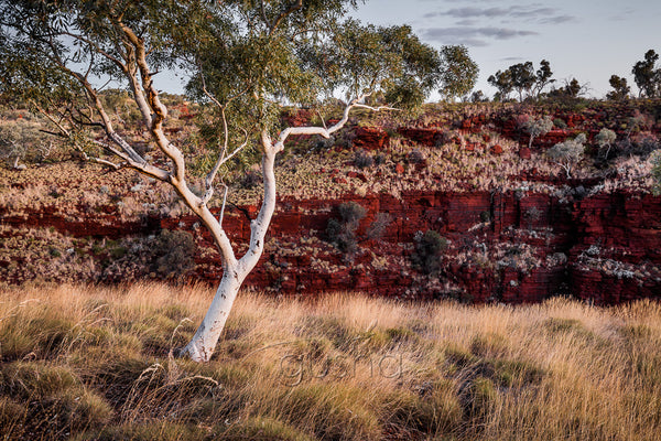 The last light of day highlights a beautiful ghost gum in the Pilbara, Western Australia. Past the gum and the earth falls away into Hancock Gorge. The upper walls of the gorge glow with rich red creating a pleasing contrast with golden spinifex grasses.