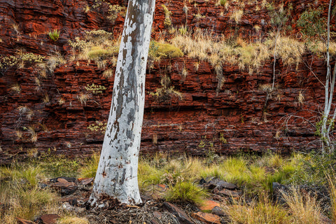 A photo of a gum tree growing in Weano Gorge at Karinjini National Park in Australia.