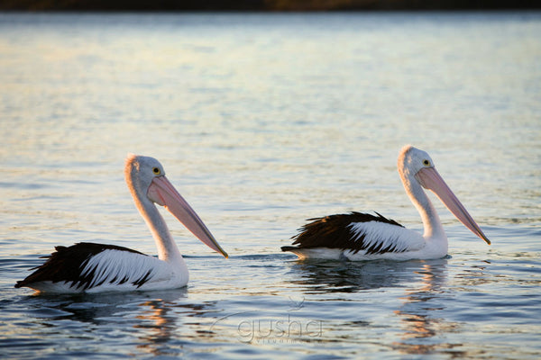 Photo of Pelicans PS1131 - Gusha