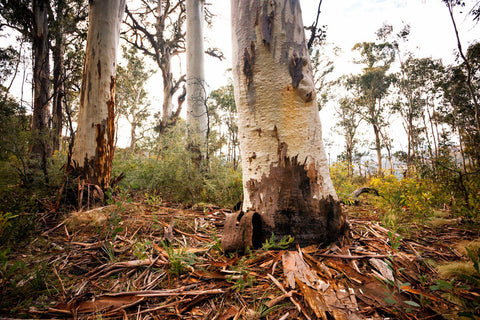 Photo of Gum Trees SN2416 - Gusha
