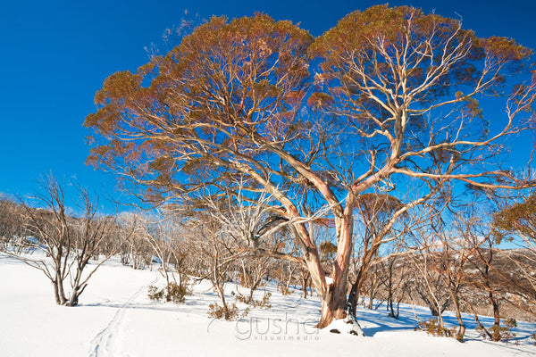 Photo of Snow Gums SN2419 - Gusha