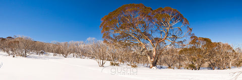 Photo of Snow Gums SN2632 - Gusha