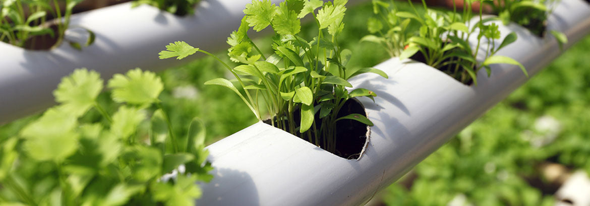 Hydrophonic bed, which requires optimal water quality