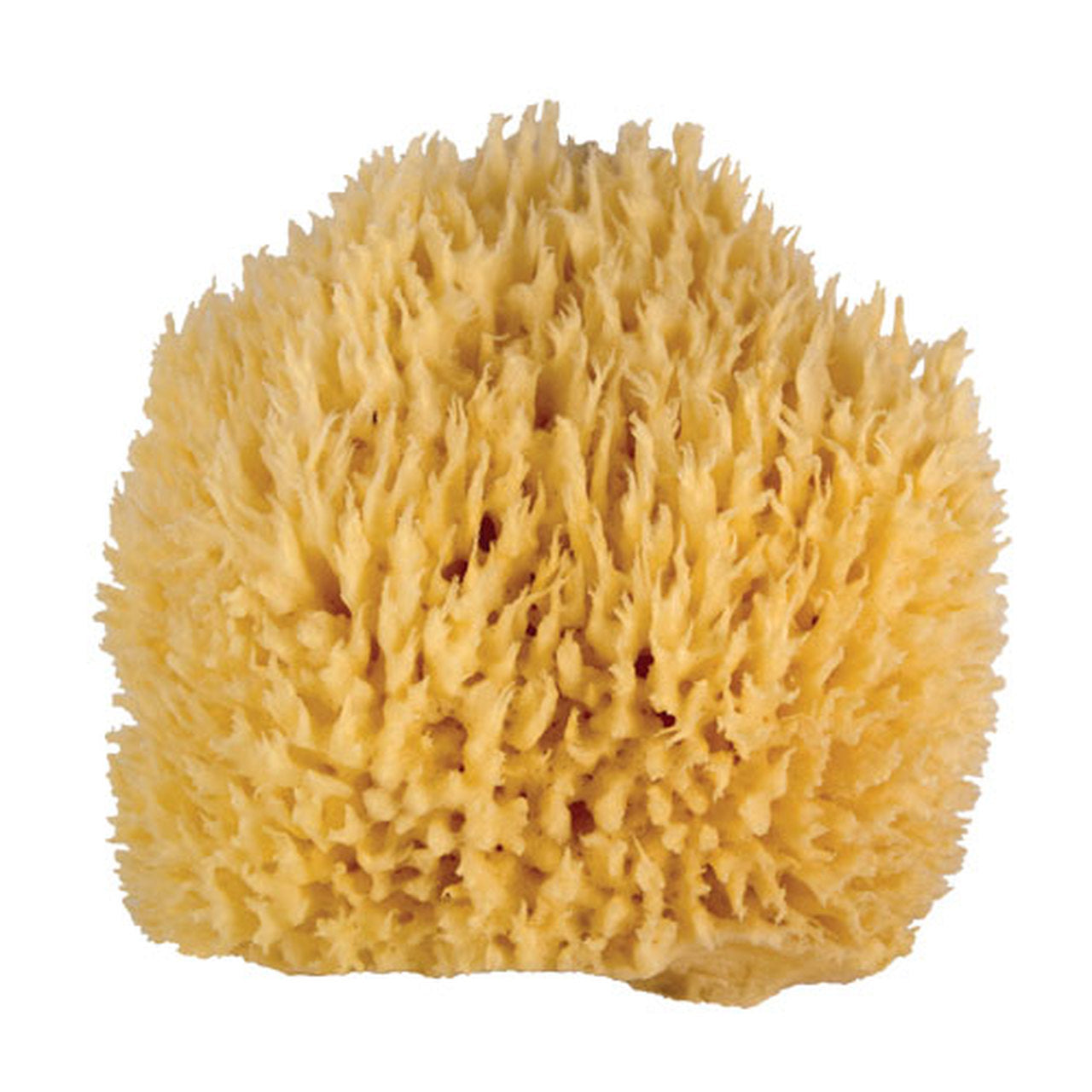 Natural Sea Sponge | Giant