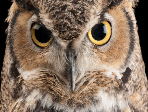 Great Horned Owl 1000 Piece Jigsaw Puzzle - National Geographic Photo Ark - All Jigsaw Puzzles