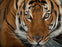 National Geographic Photo Ark Malayan Tiger - 1000 Piece Jigsaw Puzzle - All Jigsaw Puzzles