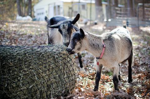 Goats using a square bale hay net feeder