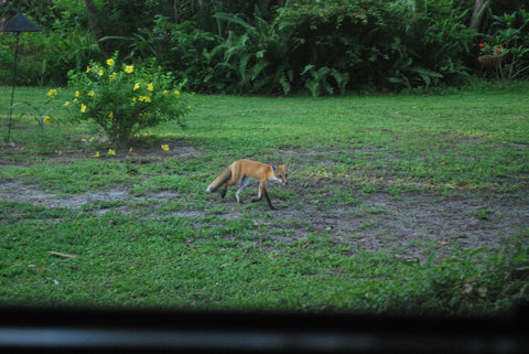 Red fox walking across yard Blue Morning Expressions