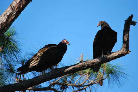 buzzards in a pine tree