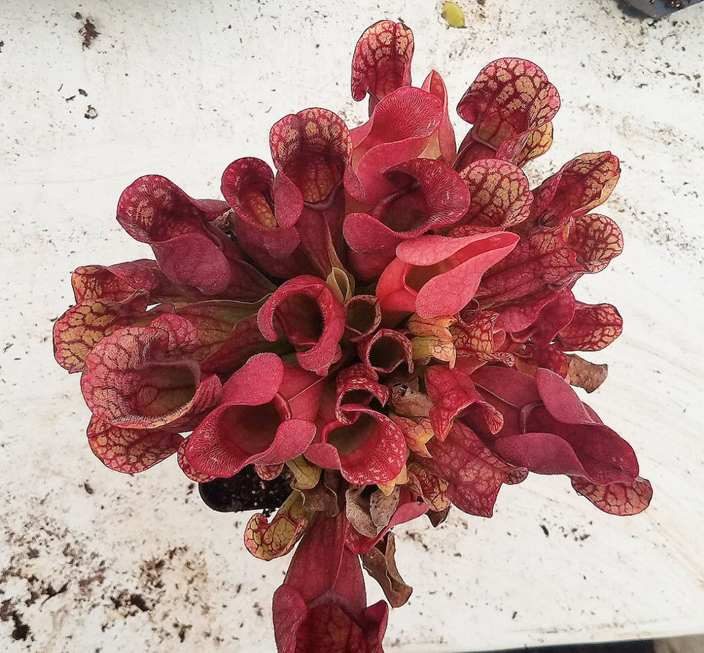 How to divide and repot Sarracenia
