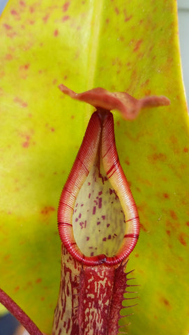 Nepenthes Gentle (N-Maxima x Fusca), live carnivorous plant, potted