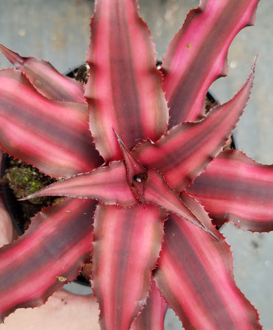 Cryptanthus 'Ruby Star', Earth Star, live bromeliad, potted