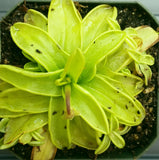 Pinguicula primuliflora, live carnivorous butterwort, potted