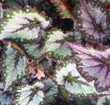 Begonia 'Plum Paisley', live houseplant, potted