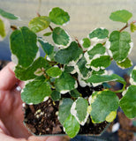 Ficus pumila 'Variegata', creeping fig, live plant, potted