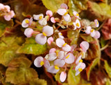 Begonia 'Autumn Embers', live houseplant, potted