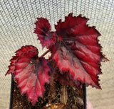 Begonia 'Red Robin II', live houseplant, potted