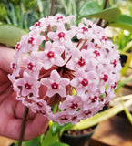 Hoya carnosa variegata 'Tricolor', Wax Plant, Fragrant, Potted in Hanging Basket