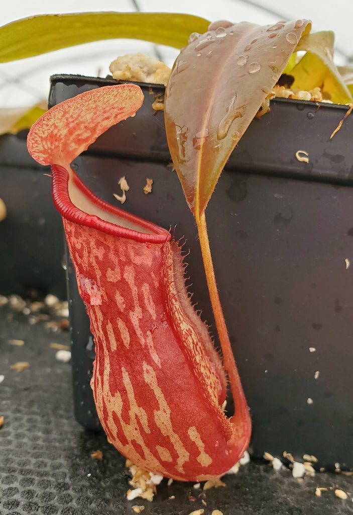 Nepenthes 'Gaya', tropical pitcher plant, live carnivorous plant, potted