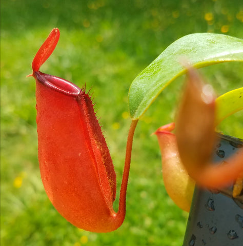 Nepenthes 'Lady Luck', tropical pitcher plant, live carnivorous plant, potted