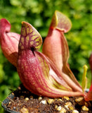 Sarracenia purpurea purpurea, live carnivorous pitcher plant, potted